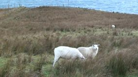 Sheep grazing on a windy day. Sheep grazing on a cliff top on a windy day overlooking the Atlantic stock video