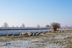 Sheep grazing in winter Royalty Free Stock Photos