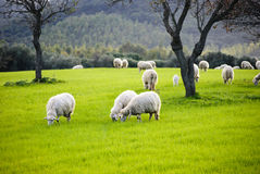Sheep grazing Royalty Free Stock Image