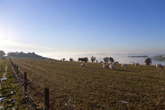 Sheep grazing in winter field Stock Photos