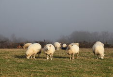 Sheep Grazing In Winter Fog Stock Photography
