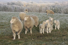 Sheep  grazing in winter Stock Photo