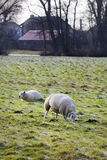 Sheep grazing in winter Royalty Free Stock Photography
