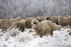 Sheep grazing in winter. Wood Royalty Free Stock Images