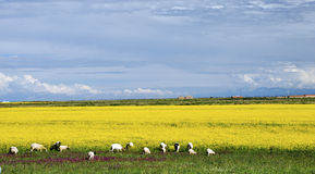 Sheep grazing in Yellow seed field. Sheep grazing in the yellow seed field in Qinghai, North-West China Stock Photography