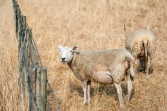 Sheep grazing on yellowed grass Stock Photography