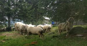 Sheep green clearing holydays great picture wood Royalty Free Stock Photo