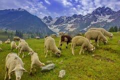 Sheep on Green feild Royalty Free Stock Photos