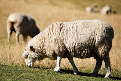 Sheep in a Green Field Stock Image