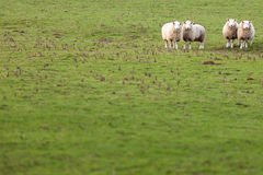 Sheep in Green Field Stock Photos