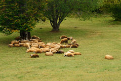 Sheep on Green Field. Group of Sheep Lying on a Green Field Royalty Free Stock Photos