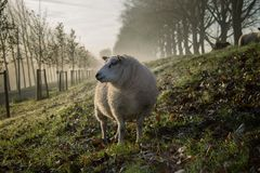 Sheep in green field Royalty Free Stock Image