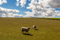 Sheep in Green Field with Blue Sky Royalty Free Stock Photography