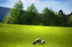 Sheep in green field. Sheep eating grass in green field in Norway stock image