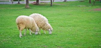Sheep in green field farm Stock Images