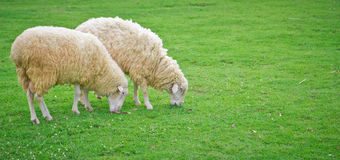 Sheep in green field farm Royalty Free Stock Images
