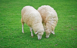Sheep in green field farm Royalty Free Stock Image