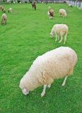 Sheep in green field farm Royalty Free Stock Photos