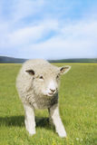 Sheep In Green Field Stock Image