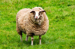 Sheep on the green gras royalty free stock image