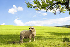 Sheep on green grass. Little sheep on green grass Royalty Free Stock Photo