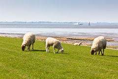 Sheep on the green grass Royalty Free Stock Photo