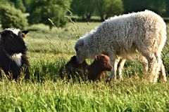 Sheep in green grass Stock Photos