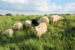 Sheep in green grass Stock Image