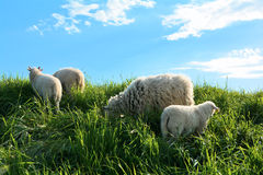 Sheep in green grass Royalty Free Stock Image