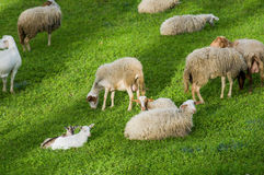 Sheep on green grass field Royalty Free Stock Photos