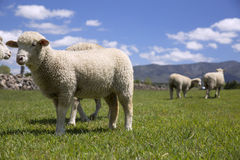 Sheep in green grass Stock Photo