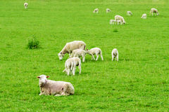 Sheep on Green Grass. Meadow royalty free stock photography