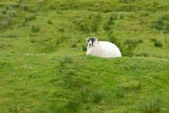 Sheep green grass Scotland landscape Royalty Free Stock Photo