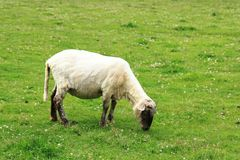 Sheep in the green grass Royalty Free Stock Photo