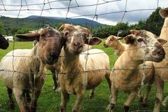 Sheep in the green grass Stock Photos