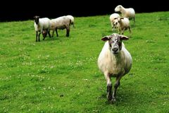 Sheep in the green grass Stock Photography