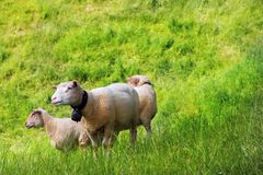 Sheep on green grass. Royalty Free Stock Photos