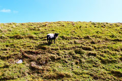 Sheep on the green hill. Lonely sheep, Ireland. Clear blue sky Stock Images