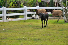 Sheep on green lawn in the farm Stock Photography