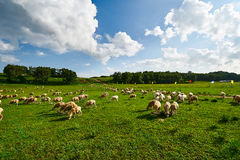 The sheep on the green lawn Stock Images