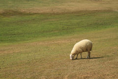 Sheep in green meadow Stock Photo