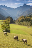 Sheep on a green meadow in front of mountains Stock Photo