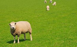 Sheep on a green meadow, the Netherlands Stock Images