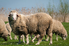 Sheep in green meadow Royalty Free Stock Image