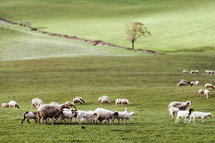 Sheep in green meadow Royalty Free Stock Images