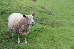Sheep in green meadow Royalty Free Stock Photo