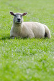 Sheep on the green meadow Stock Image