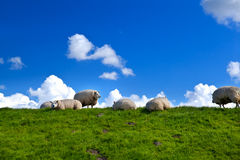 Sheep on green pasture over blue sky. Few Dutch sheep on green pasture over blue sky with puffy clouds stock image