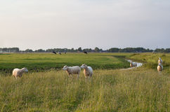 Sheep on green pasture Royalty Free Stock Image