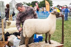 Sheep Grooming. Sheep being groomed, just before being entered in a country show stock images